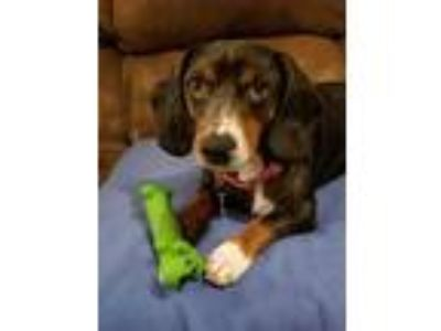 Adopt Brady Thrice a Dachshund / Beagle / Mixed dog in Boston, MA (24359011)