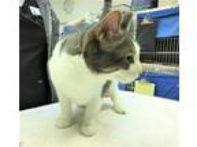 Adopt Mr. Trouble (OHS) a Domestic Shorthair / Mixed (short coat) cat in