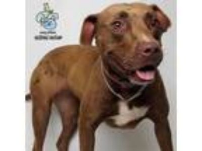 Adopt Molly a Pit Bull Terrier