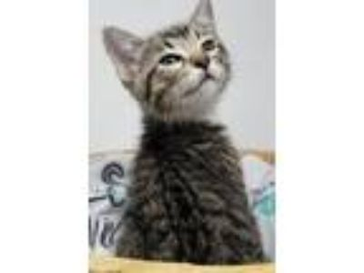 Adopt Stitch a Brown Tabby American Shorthair / Mixed (short coat) cat in