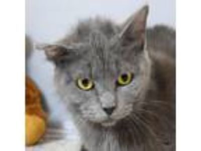 Adopt Zelda a Gray or Blue (Mostly) Russian Blue / Mixed (short coat) cat in