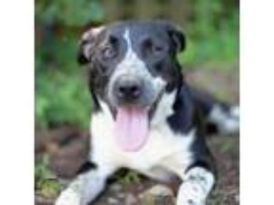 Adopt Trina a Border Collie, Australian Cattle Dog / Blue Heeler