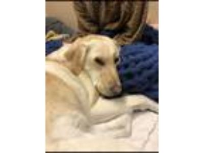 Adopt Casey a Tan/Yellow/Fawn Labrador Retriever dog in Parker, CO (25890471)