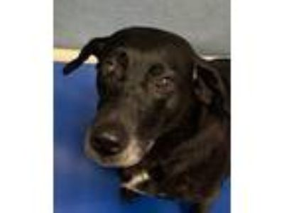 Adopt Gloria a Labrador Retriever