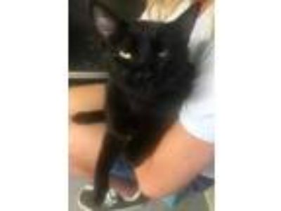 Adopt Night Shade a All Black Domestic Shorthair / Domestic Shorthair / Mixed