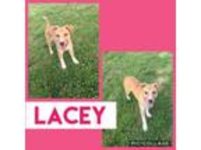 Adopt Lacey a Shepherd