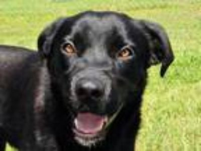 Adopt Toby 5876 a Black Labrador Retriever