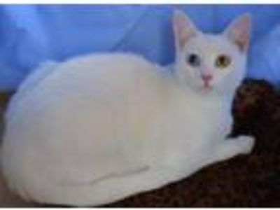 Adopt Holly & Brother Jasper Are Partially Blind a Siamese, Domestic Short Hair