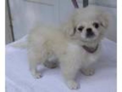 Pekingese Puppies - Classifieds - Claz org