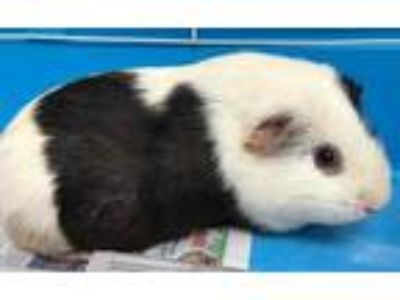 Adopt Bessie a Black Guinea Pig / Guinea Pig / Mixed small animal in Caldwell
