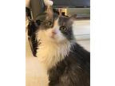 Adopt Lady a Gray or Blue (Mostly) Domestic Longhair (long coat) cat in New