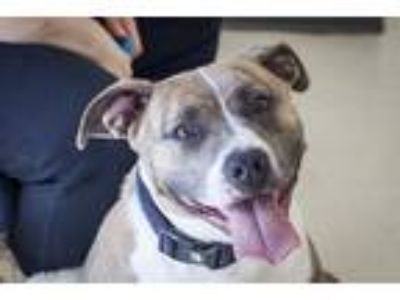 Adopt Tennesse a Pit Bull Terrier / Mixed dog in Napa, CA (24829459)