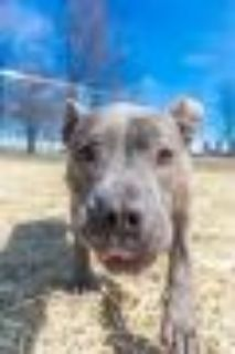 Selma Pit Bull Terrier Dog