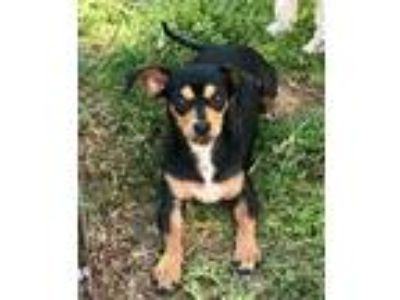 Adopt Billie a Black Mixed Breed (Small) / Mixed dog in Georgetown