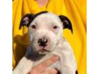 Adopt Champ a White American Staffordshire Terrier / Mixed dog in DeKalb