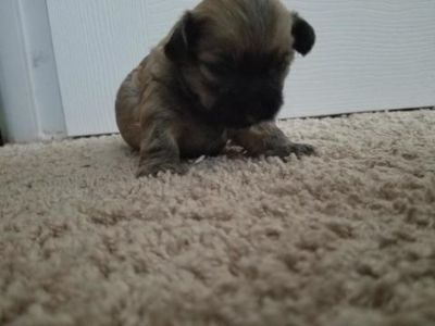 Shih-Poo-Poodle (Toy) Mix PUPPY FOR SALE ADN-76321 - loving shih poo