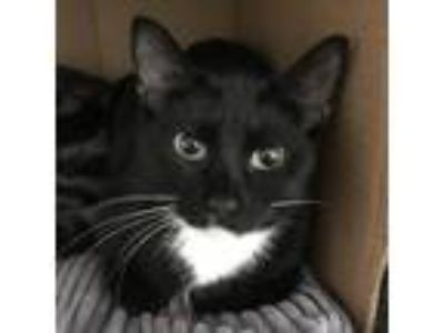 Adopt Apple a All Black Domestic Shorthair / Domestic Shorthair / Mixed cat in