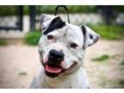 Adopt Lefty a Pit Bull Terrier