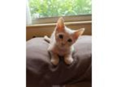 Adopt Linus a Orange or Red Domestic Shorthair / Domestic Shorthair / Mixed cat