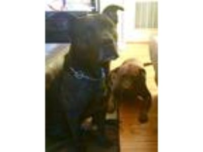 Adopt Puppy a Brindle American Pit Bull Terrier / Chow Chow / Mixed dog in