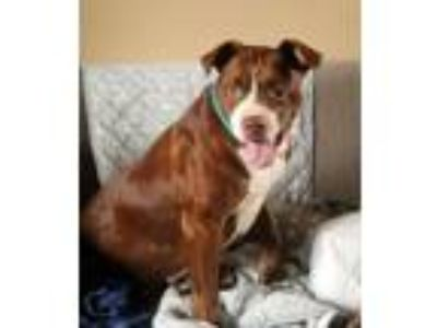 Adopt Lizzy~new pics a Boxer, Pit Bull Terrier