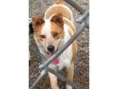 Adopt Kevin a Australian Cattle Dog / Blue Heeler
