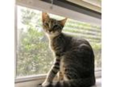 Adopt Gizmo a Gray, Blue or Silver Tabby Domestic Shorthair / Mixed cat in