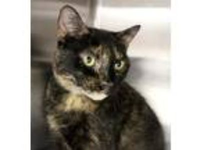 Adopt Lisa a Domestic Short Hair