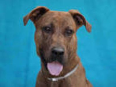 Adopt NELSON a Brown/Chocolate American Pit Bull Terrier / Mixed dog in Gardena