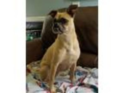 Adopt Madison a Pug, Mixed Breed