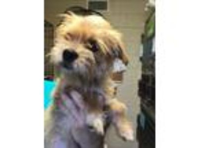 Adopt Harlow a Terrier, Yorkshire Terrier