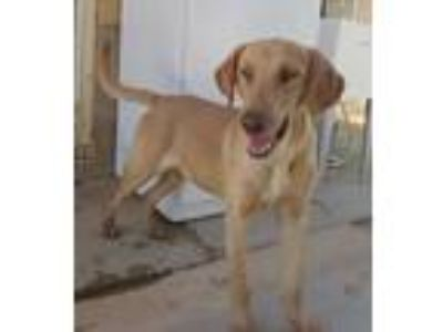 Adopt Porthos a Tan/Yellow/Fawn Hound (Unknown Type) / Mixed dog in Apple