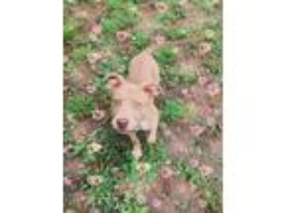 Adopt Gemma a Tan/Yellow/Fawn - with White American Pit Bull Terrier / Mixed dog