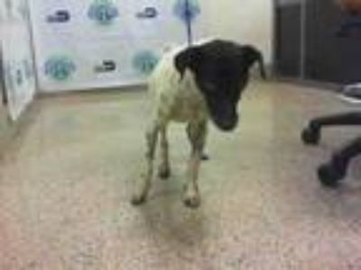 Adopt LUCILLE a Rat Terrier, Mixed Breed