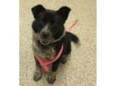 Adopt Fern a Border Collie, Australian Cattle Dog / Blue Heeler