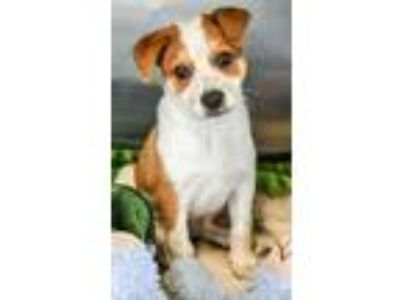 Adopt Buzz a Red/Golden/Orange/Chestnut Border Collie / Australian Cattle Dog /