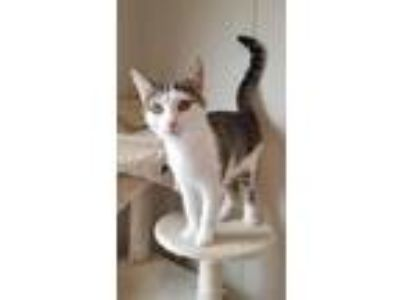 Adopt Henry2 a Domestic Short Hair