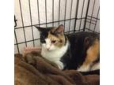 Adopt Shumallie a Calico or Dilute Calico Domestic Shorthair cat in Asheville