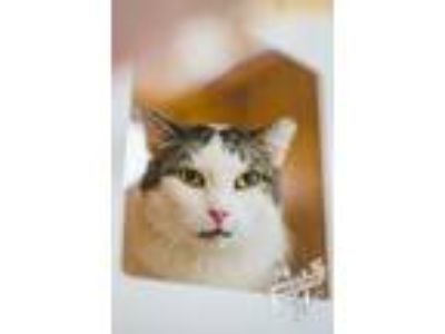 Adopt Betty Whitepaws a Brown Tabby Domestic Mediumhair / Mixed cat in St.