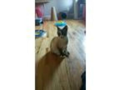 Adopt Jayme a Cream or Ivory (Mostly) Siamese (short coat) cat in Whitestown