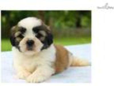 Strong Lhasa Apso: Dimples (M)