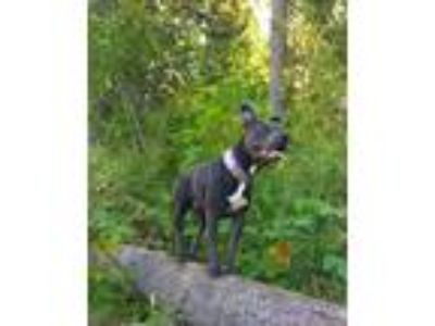 Adopt Orion a Gray/Blue/Silver/Salt & Pepper American Pit Bull Terrier / Mixed