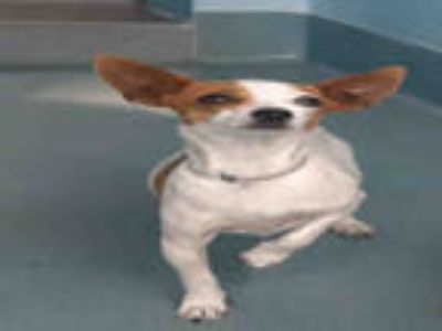 Adopt BELLA a White - with Brown or Chocolate Miniature Pinscher / Mixed dog in