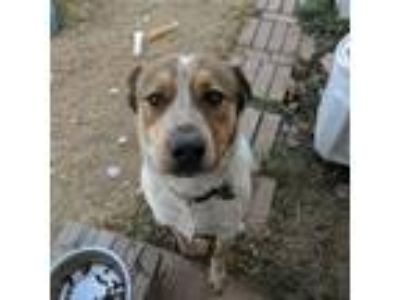 Adopt Marty CP a Great Pyrenees, Australian Cattle Dog / Blue Heeler