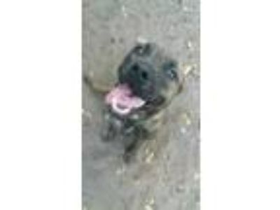 Adopt Maximus a Brindle Mastiff / Black Mouth Cur / Mixed dog in winter haven