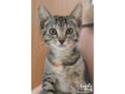Adopt Felicity a Brown Tabby Domestic Shorthair / Mixed (short coat) cat in