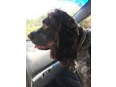 Adopt Waylon a Brown/Chocolate - with White Spaniel (Unknown Type) dog in