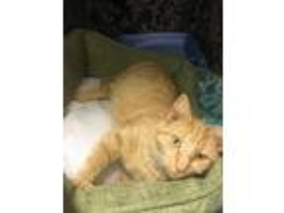 Adopt RC-Calliope a Domestic Short Hair