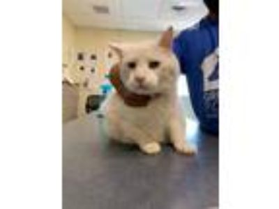 Adopt Wesley a White Domestic Shorthair / Domestic Shorthair / Mixed cat in