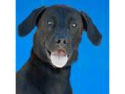 Adopt Nala a Labrador Retriever, Mixed Breed